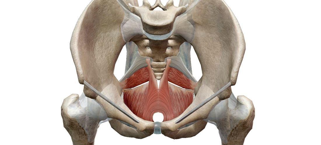 musculatura del suelo pélvico